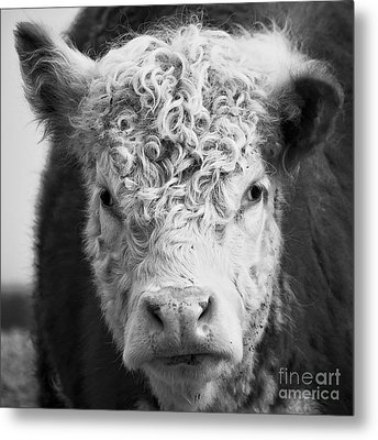 Cow Square Metal Print by Edward Fielding