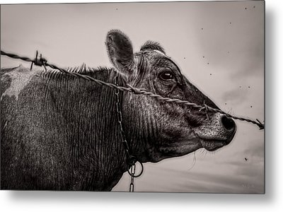 Metal Print featuring the photograph Cow With Flies by Bob Orsillo