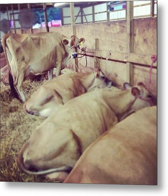 Cows At The Fair Metal Print
