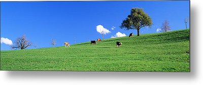 Cows, Canton Zug, Switzerland Metal Print by Panoramic Images