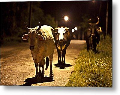 Cows Coming Home Metal Print