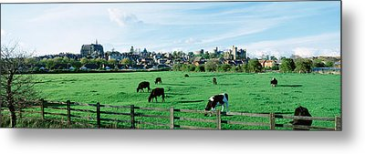 Cows Grazing In A Field With A City Metal Print by Panoramic Images