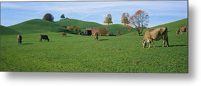 Cows Grazing On A Field, Canton Of Zug Metal Print by Panoramic Images