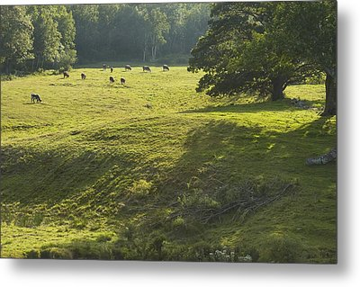 Cows Grazing On Grass In Rockport  Maine Metal Print by Keith Webber Jr
