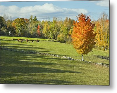 Cows Grazing On Maine Farm Field In Fall  Metal Print by Keith Webber Jr