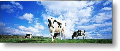 Cows In Field, Lake District, England Metal Print by Panoramic Images