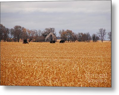 Metal Print featuring the photograph Cows In The Corn by Mary Carol Story