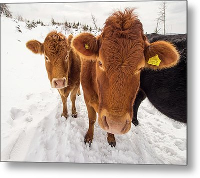 Cows In Winter Metal Print by Ashley Cooper