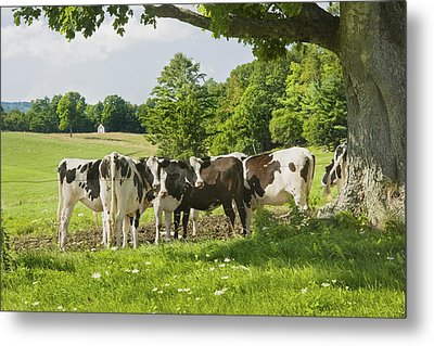 Cows Under Tree In Farm Field Summer Maine Photograph Metal Print by Keith Webber Jr