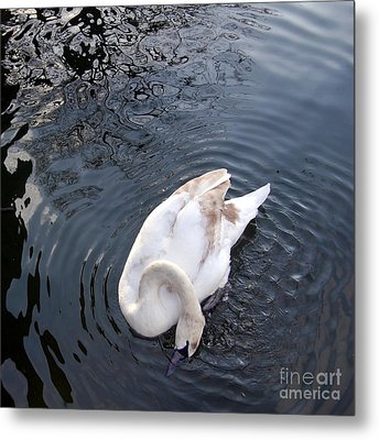 Coy Swan Metal Print by Linda Prewer