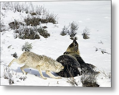 Metal Print featuring the photograph Coyote Biting A Grizzly by J L Woody Wooden