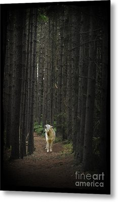 Coyote Howling In Woods Metal Print by Dan Friend