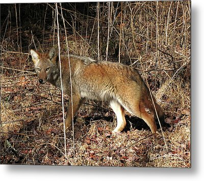 Coyote In The Cove Metal Print by Douglas Stucky