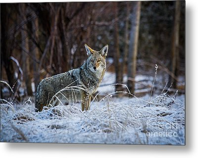 Coyote In The Meadow  Metal Print