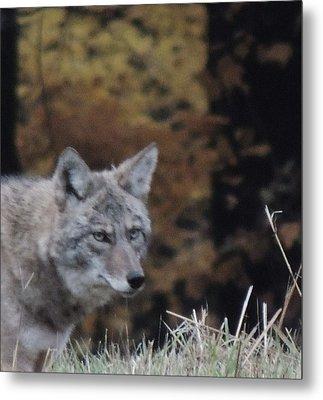 Coyote Number One Metal Print