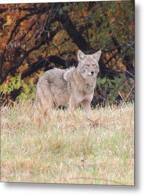 Coyote Number Three Metal Print