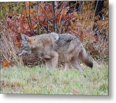 Coyote Number Two Metal Print