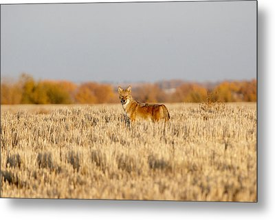 Coyote On The Hunt Metal Print by Shirley Heier