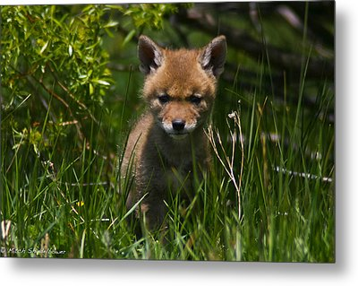 Metal Print featuring the photograph Coyote Pup by Mitch Shindelbower
