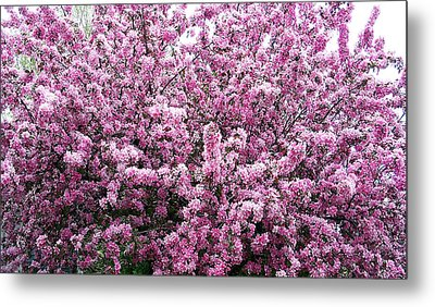 Crab Apple Tree Metal Print by Aimee L Maher Photography and Art Visit ALMGallerydotcom