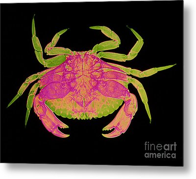 Crab Metal Print by D Roberts