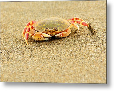 Crab Walk Metal Print by Rebecca Adams
