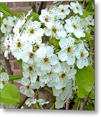 Crabapple Blossoms Metal Print