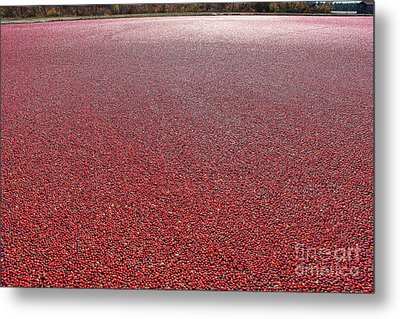 Cranberries Metal Print by Olivier Le Queinec