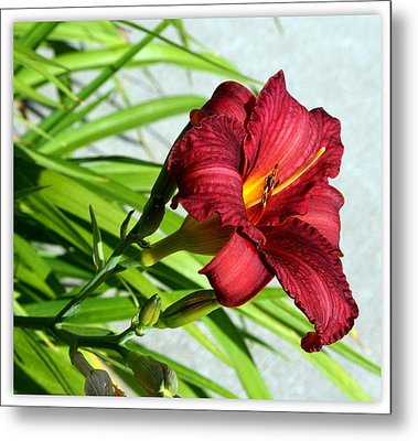 Cranberry Colored Lily Metal Print by Kay Novy