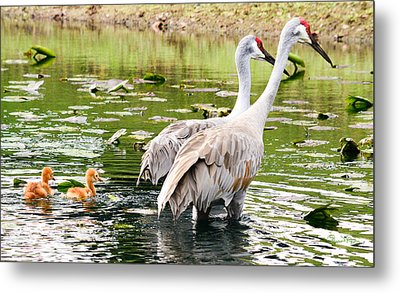 Crane Family Goes For A Swim Metal Print