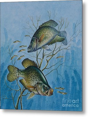 Crappie And  Metal Print