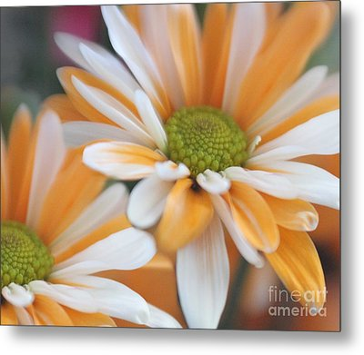 Metal Print featuring the photograph Creamsicle Daisies by Mary Lou Chmura