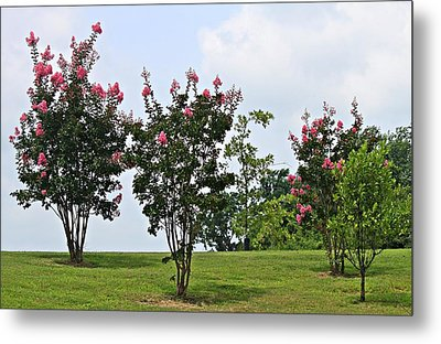 Crepe Myrtle Trees Metal Print by Carolyn Ricks
