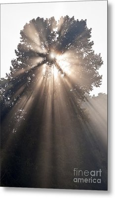 Crepuscular Rays Coming Through Tree In Fog At Sunrise Metal Print