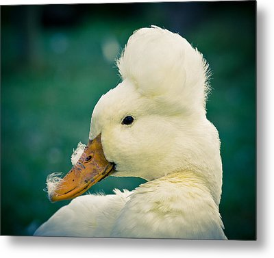 Crested Duck Metal Print
