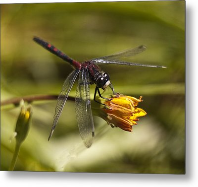 Metal Print featuring the photograph Crimson-ringed  White Face Dragonfly On Flower by Lee Kirchhevel