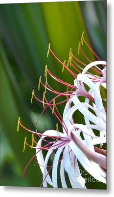 Metal Print featuring the photograph Crinum Lily by Darla Wood