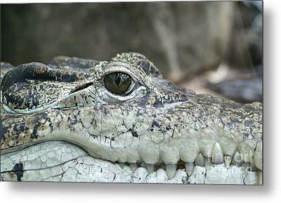 Metal Print featuring the photograph Crocodile Animal Eye Alligator Reptile Hunter by Paul Fearn