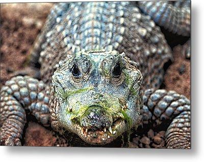 Crocodile Close-up Metal Print by Goyo Ambrosio