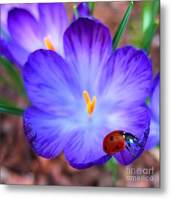 Crocus Flower With Ladybug Metal Print