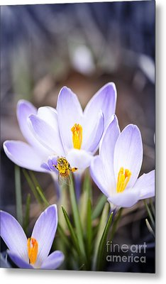 Crocus Flowers And Bee Metal Print by Elena Elisseeva