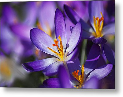 Crocus Focus Metal Print by Jacqi Elmslie