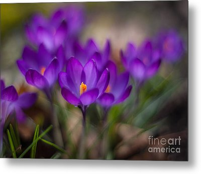 Crocus Garden Impressions Metal Print by Mike Reid