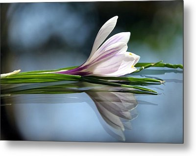 Crocus Reflections Metal Print by  Andrea Lazar