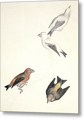 Crossbills, 19th Century Artwork Metal Print by Science Photo Library