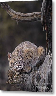 Crouching Bobcat Montana Wildlife Metal Print by Dave Welling
