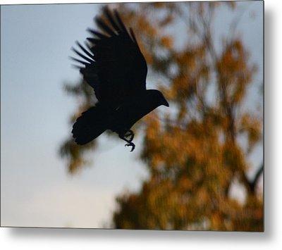 Crow In Flight 2 Metal Print