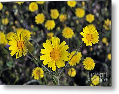 Metal Print featuring the photograph Crown Daisies by George Atsametakis