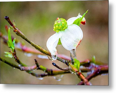 Cruel Winter For A Dogwood Flower Metal Print