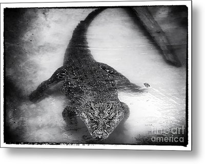 Cuban Crocodile Metal Print by John Rizzuto